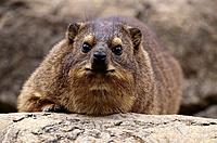 Cape Rock Hyrax (Procavia capensis)
