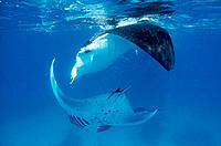 Manta Rays (Manta birostris) feeding under the surface. Red Sea. Sudan