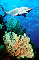 Silky Shark (Carcharhinus falciformis). Red Sea. Egypt
