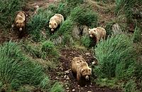 Brown Bears (Ursus arctos), sow and cubs. Alaska. USA