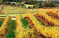 Grape vines at autumn