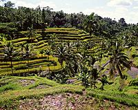 Rice fields. Bali. Indonesia