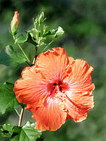 Hibiscus (Hibiscus rosa-sinensis) 'Caleb'