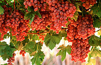 Golden Globe table grapes on vine