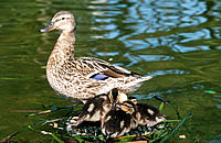 Mallard (Anas platyrhynchos) with chicks