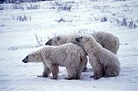 Polar Bears (Ursus maritimus), mother and cubs