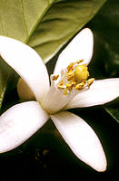 Orange blossom (Citrus sinensis)