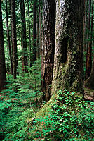 Rain forest, Soleduck area. Olympic National Park. Washington. USA