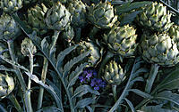 Artichokes, Cynara scolymus, Still life