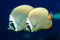 Redtail Butterflyfish (Chaetodon collare). Thailand