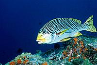 Yellowbanded Sweetlips (Plectorhinchus lineatus). Indonesia