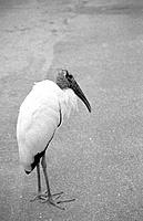Stork standing on a roadway near Sebastian Inlet. Atlantisc coast of Florida. USA