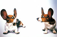 Two basset hounds with ears straight up