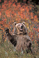 Grizzly Bear Standing Upright Waving one Paw, Autumn, Rocky Mountains