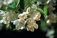 Apfelblüte Blüte weiß