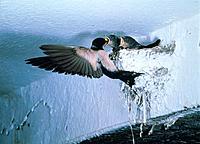 Rauchschwalbe Küken Fütterung füttern