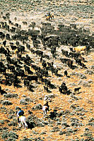 Cattle drive. Wyoming. USA