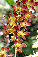 C/u of red yellow dendrobium orchids on plant, outdoors w/ sunlight shining D1783 soft focus in bkgd