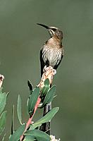 Cape Sugarbird (Promerops cafer). South Africa