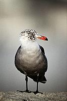 Heermann's Gull (Larus heermanni). California. USA