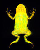 Toad. Coloured X-ray of a ventral view of a young toad, Bufo sp. Bones of the skeleton are adapted for the toad´s way of life. A semi-circular jawbone...