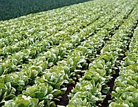 Lettuces. Valencia province. Spain