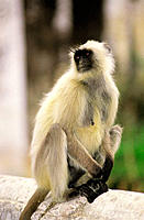 Hanumen Langur (Presbytis entellus) at  Amber Fort. Jaipur. India