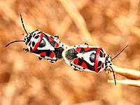 Shield Bugs (Eurydema dominulus) mating