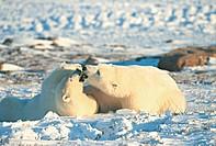 Polar BearsCanada