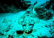 Crocodile FishRed Sea