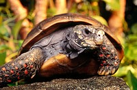 Red Foot Tortoise (Chelonoidis carbonaria)
