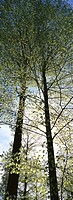 European Beech (Fagus sylvatica). Bavarian Forest National Park. Germany