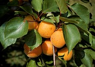 Several Apricots on a Tree Branch
