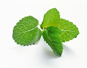 Fresh Leaves of Mint
