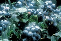 Close Up of Blueberries on Plant