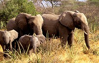 Herd of African Elephants (Loxodonta africana). Serengeti National Park. Tanzania