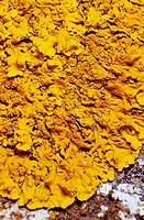 Lichen (Xanthoria parietina)