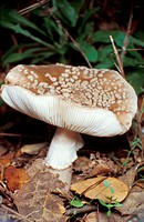Panther Agaric (Amanita pantherina)