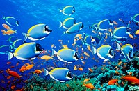 Powder-blue surgeonfish over coral reef