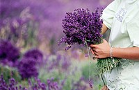 Person holding bouquet of lavender. Provence. France