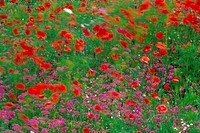 Red Poppies, Purple Flowers