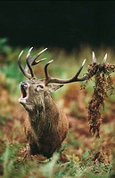 European Red Deer (Cervus elaphus). England