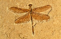 Fossil dragonfly, early Cretaceous. Brazil