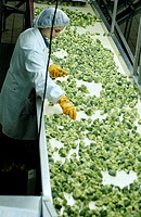 Frozen food industry, broccoli quality control. Navarre. Spain