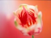 One Multi Colour Tulip