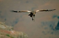Cape Vulture (Gyps coprotheres). South Africa