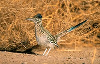 Greater Roadrunner (Geococcyx californianus). Bosque del Apache. New Mexico . USA