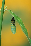 Series, Monarch Butterfly Pupation, Caterpillar Emerging on Milkweed´