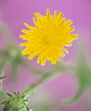 CREDIT: LAWRENCE LAWRY/SCIENCE PHOTO LIBRARY Dandelion flower (Taraxacum officinale). This is a common  flowering  plant  of  meadows  and  fields thr...