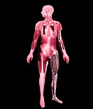 Body imaging. Composite image of several methods used to visualise the anatomy of the human body. The techniques seen here are magnetic resonance imag...